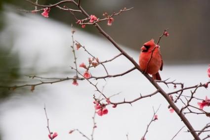 cardinal-sitting